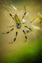 Golden Silk Orb-Weaver Spider (Nephila clavipes)