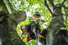 climbing a maple tree