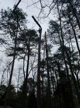 top down pine tree removal