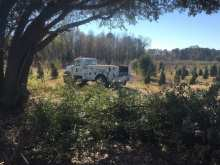 pruning live oak at long branch farms