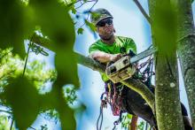 Removing the Maple Tree Limb with the Stihl Chainsaw