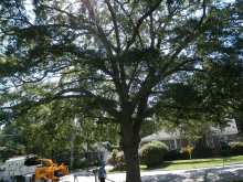 pruning a tree in columbia sc at Olympia-Granby Mill Village Museum with pole pruner
