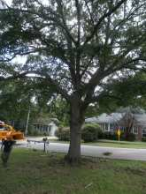 under trimming of a wild cherry tree in cola, sc 29201