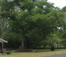 big oak tree removal in lexington south carolina