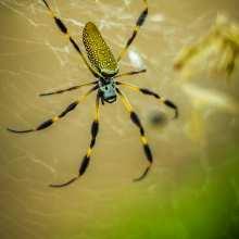 Golden Silk Orb-Weaver Spider (Nephila clavipes)