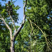 Lowering a Large Maple Tree Limb
