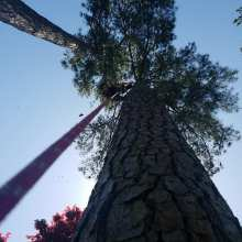 big pine trees in irmo south carolina