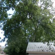 overgrown tree pruning of Hackberry Tree in cola sc Olympia-Granby Mill Village Museum
