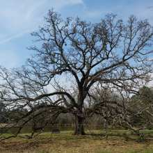 Saluda post oak