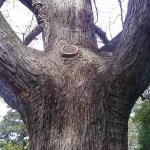 white oak wound closure decay compartmentalization