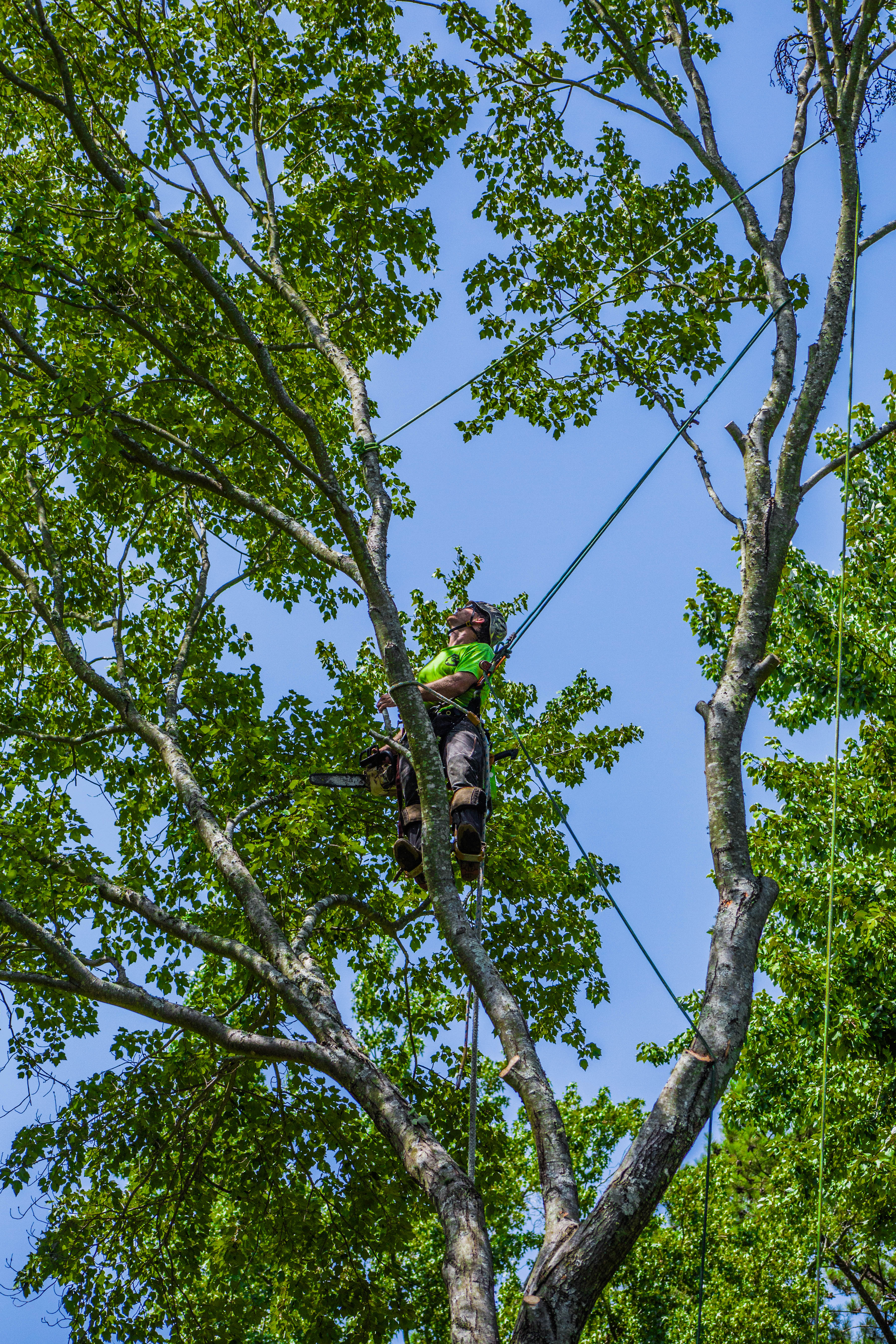 Removing a Maple Tree Step by Step, Limb by Limb