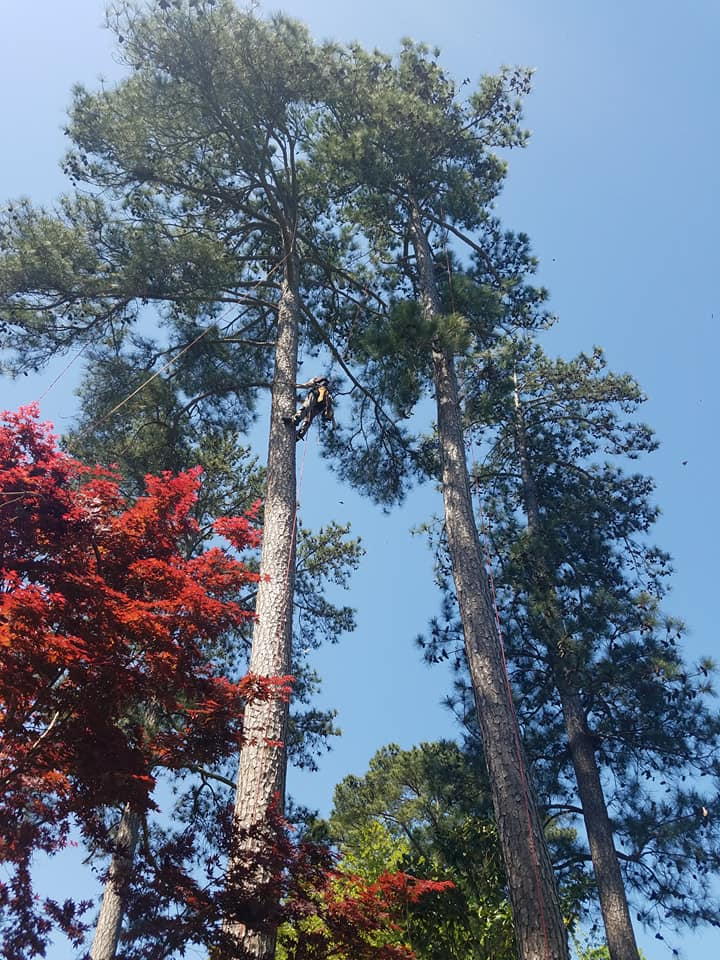 pine trees in irmo sc