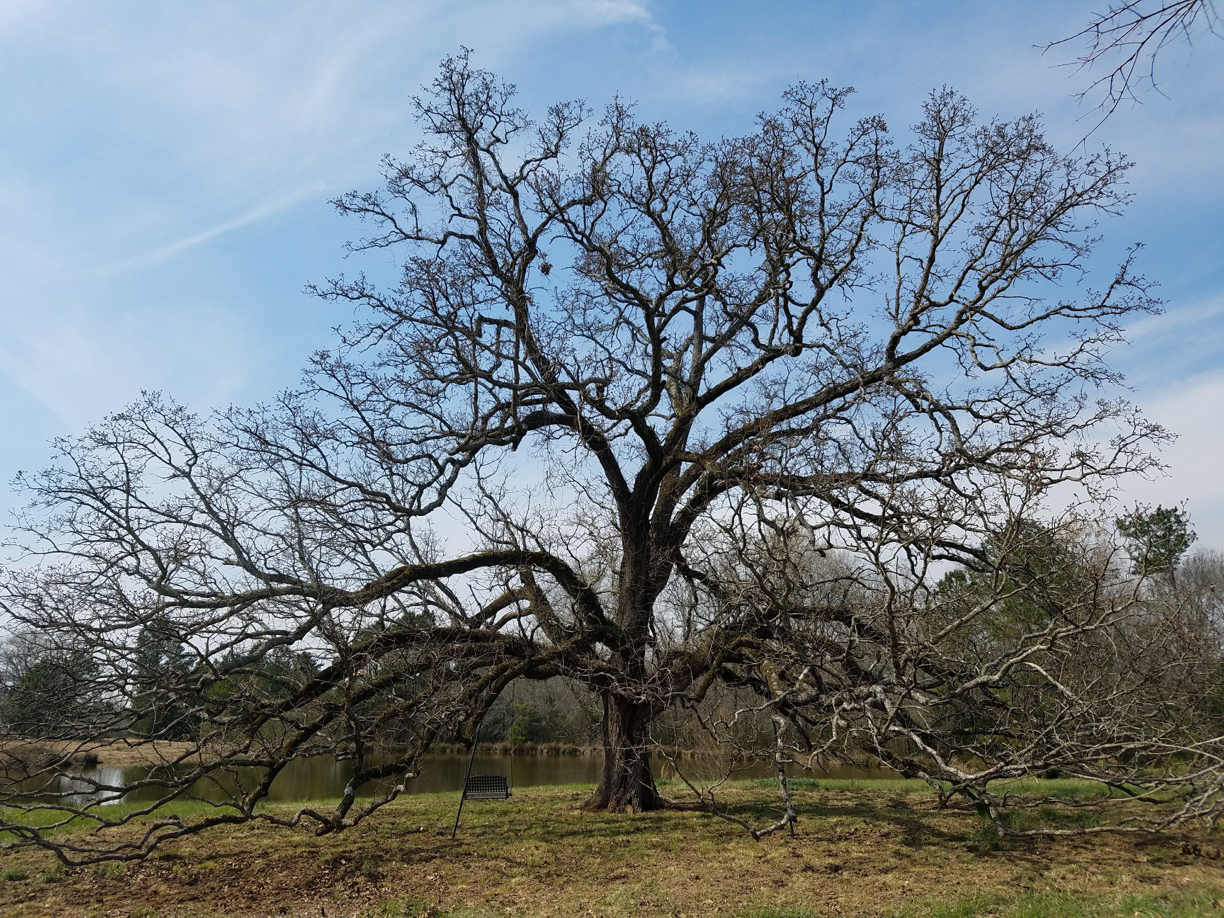 Saluda post oak