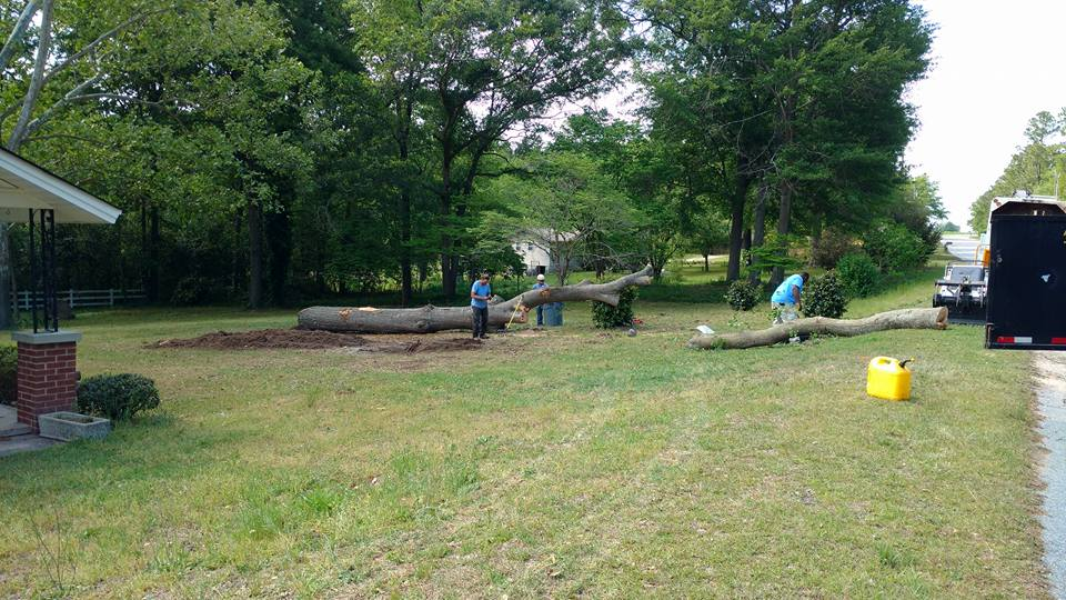 felled oak tree removal in lexington sc